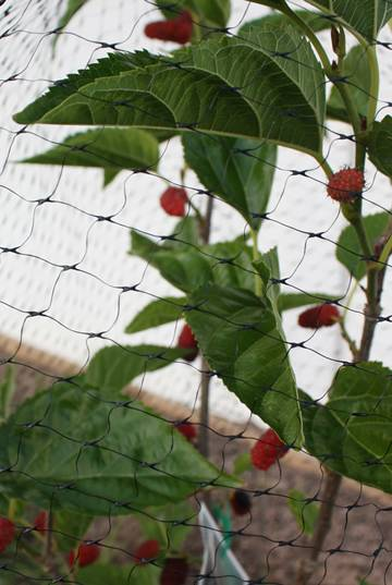 A black garden bird netting with square mesh for strawberry protection.
