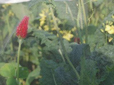 Butterfly protection netting as a barrier of cabbage white butterfly.